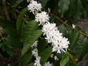 Kona Coffee blossoms